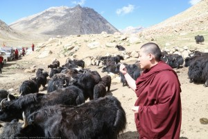 Blessing the yaks